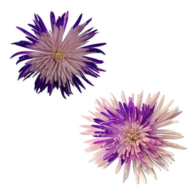 Innie/Outtie Disbuds - Purple and Pink - 60 Stems