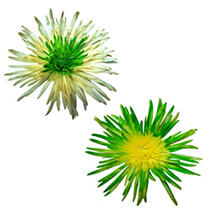 Innie/Outtie Disbuds - Green and Yellow - 60 Stems