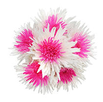 Innie/Outtie Disbuds - Hot Pink and White - 60 Stems