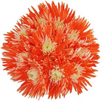 Innie/Outtie Disbuds - Orange and White - 60 Stems