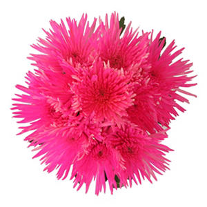 Hot Pink Neon Painted Spider Mums - 60 Stems