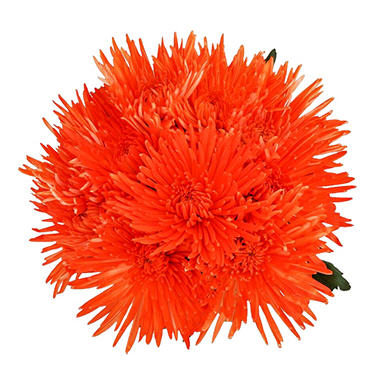 Orange Neon Painted Spider Mums - 60 Stems