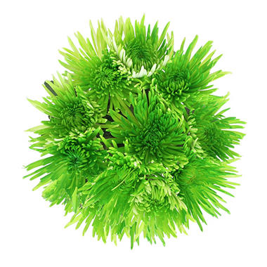 Lime Green Neon Painted Spider Mums - 60 Stems