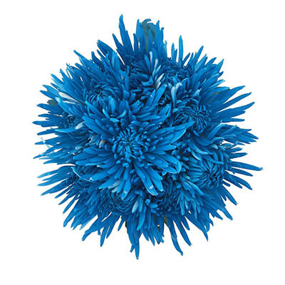 Turquoise Neon Painted Spider Mums - 60 Stems