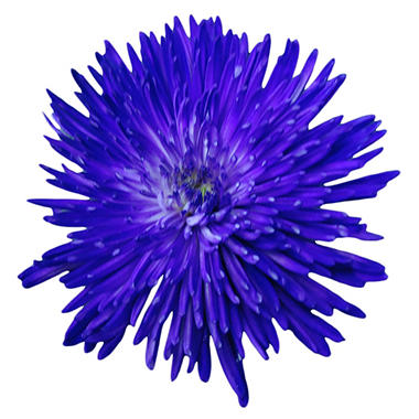 Purple Neon Painted Spider Mums - 60 Stems