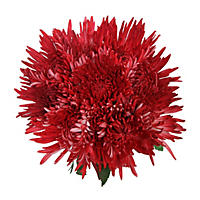 Red Painted Spider Mums - 60 Stems