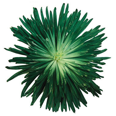 Dark Green Painted Spider Mums - 60 Stems