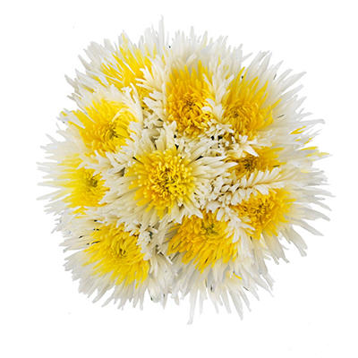 Innie/Outtie Disbuds - Yellow and White - 60 Stems