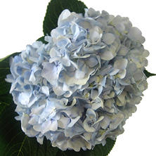 Elite Hydrangeas - Blue/White Combo - 14 Stems