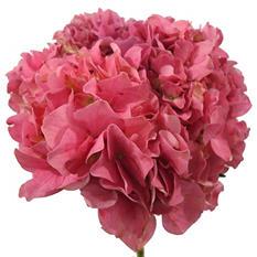 Elite Hydrangeas - Hot Pink - 15Stems