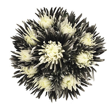 Innie/Outtie Disbuds - Black & White - 60 Stems