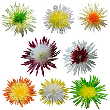 Disbuds - Innie/Outtie - Fall Colors- 60 Stems