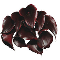 Mini Calla Lilly -Deep Purple -60 Stems