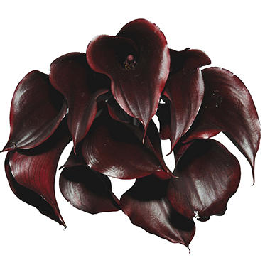 Mini Calla Lilly - Deep Purple (60 Stems)