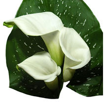 Mini Calla – White - 60 Stems