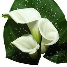 Mini Calla - White - 60 Stems