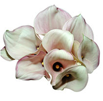 Mini Calla Lily-Pink-60 Stems