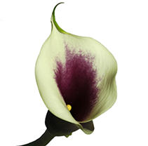 Mini Calla Lily – Picasso - 60 Stems
