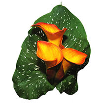Mini Color Calla – Orange - 60 Stems