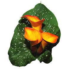 Mini Color Calla - Orange - 60 Stems