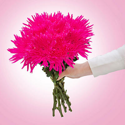 Spider Mums - Painted Glitter Hot Pink - 60 Stems