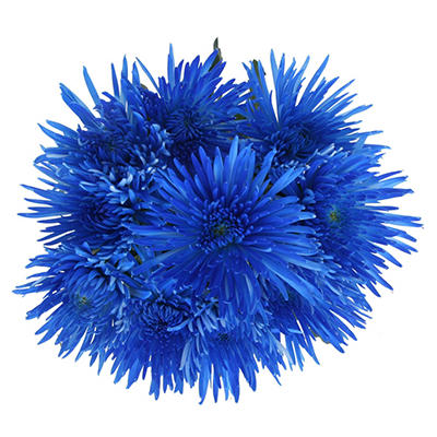 Blue Painted Spider Mums - 60 Stems
