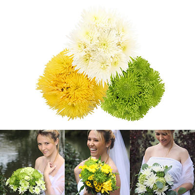 Assorted Natural Spiders Mums - 60 Stems