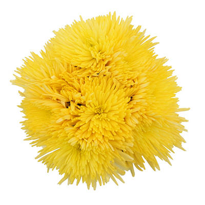 Natural Yellow Spiders Mums - 60 Stems