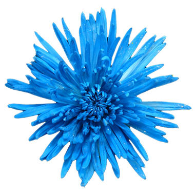 Spider Mums - Painted Glitter Turquoise Neon - 60 Stems