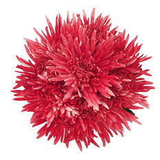 Spider Mums - Painted Glitter Red - 60 Stems