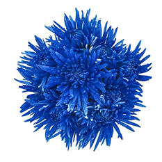 Spider Mums - Painted Glitter Blue - 60 Stems