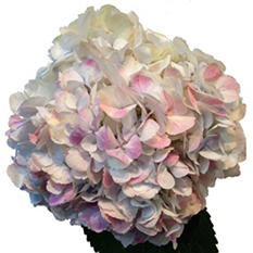 Natural Antique White Hydrangeas (20 Stems)