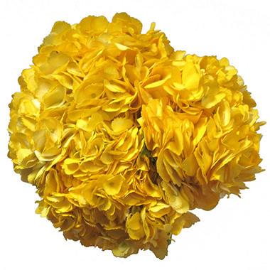 Painted Yellow Hydrangeas (15 stems)