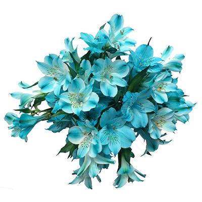 Alstroemeria Tinted Blue (60 Stems)
