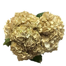 Hydrangea Painted Sand (15 Stems)