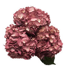 Hydrangea Painted Sangria (15 Stems)