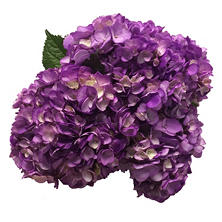 Hydrangea Painted Cassis (15 Stems)