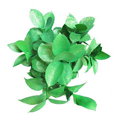Ruscus Painted & Glittered Green  (168 Stems)