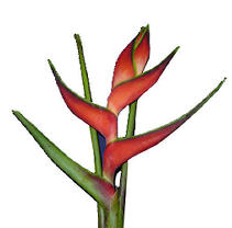 Heliconia Edge of Night - 15 Stems