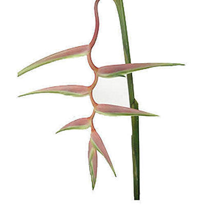Heliconia 'Sexy Pink' - 15 Stems