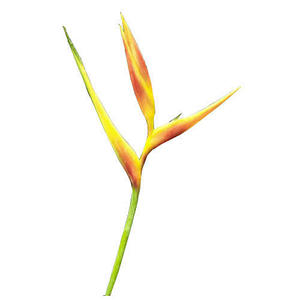 Heliconia Golden Opal - 30 Stems