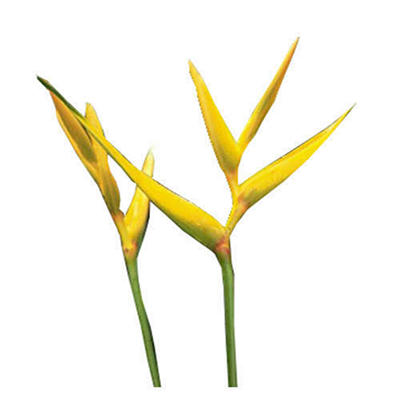 Heliconia Golden Torch - 30 Stems