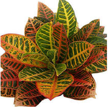 Yellow Croton - 100 Leaves