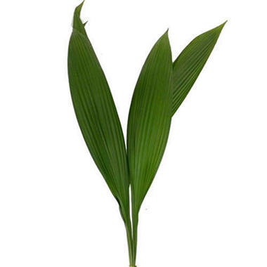 Accordion Palm - 100 Stems