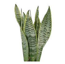 Variegated Snake Plant - 50 Stems