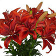 Asiatic/LA Hybrid Lily - Black & Red - 80 Stems