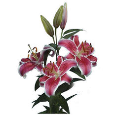 Starfighter Lilies - 40 Stems