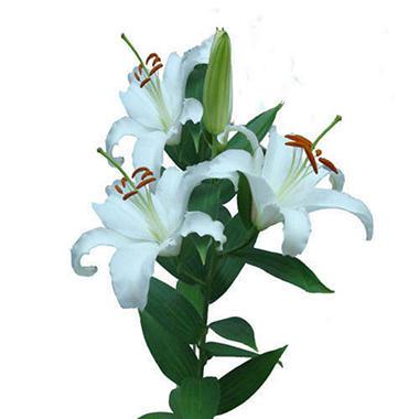 Siberia Oriental  Lily - White - 80 Stems