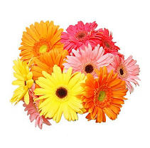 Gerbera Daisies - Assorted Colors - 70 Stems