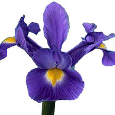Iris - Purple - 100 Stems